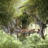 Гирский лес в Индии – место проживания единственной сохранившейся популяции азиатских львов .