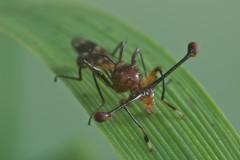 самец стебельчатоглазой мухи Cyrtodiopsis dalmanni  фото Academic Dictionaries and Encyclopedias